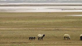 Ovejas y corderos en Uzbekistán metrajes