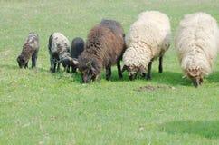 Ovejas y corderos que pastan Imagen de archivo libre de regalías