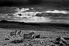Ovejas y el brazo de mar de Solway - Escocia del Blackface fotografía de archivo libre de regalías