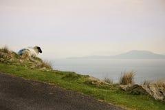 Ovejas y espolones de la isla de Achill Fotografía de archivo libre de regalías
