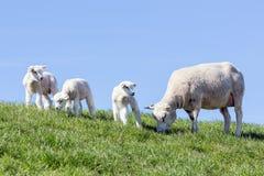 Ovejas y pequeños corderos en campo holandés Imagen de archivo libre de regalías
