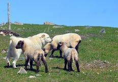 Ovejas y perro pirenáico de la montaña Imagenes de archivo