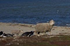 Ovejas y pingüinos - Falkland Islands Imagenes de archivo