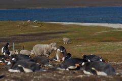 Ovejas y pingüinos - Falkland Islands Imágenes de archivo libres de regalías