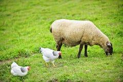 Ovejas y pollos que pastan en granja Imagen de archivo libre de regalías