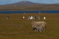 Ovejas y rey Penguins - Falkland Islands Foto de archivo libre de regalías