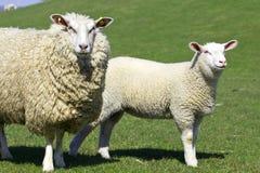 ovejas y su bebé Fotos de archivo