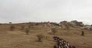 Ovejas y vacas en pasto metrajes