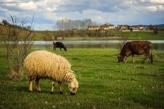 Ovejas y vacas que pastan fotografía de archivo libre de regalías