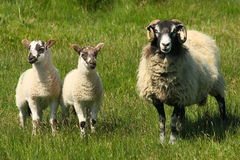 Ovelha com cordeiros Fotos de Stock Royalty Free