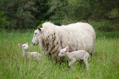 Ovelha com cordeiros gêmeos Imagens de Stock