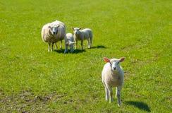 Ovelha com seus cordeiros que levantam no prado Fotografia de Stock