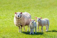 Ovelha com seus dois cordeiros que levantam para o fotógrafo Foto de Stock Royalty Free