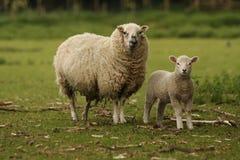 Ovelha e cordeiro fotos de stock