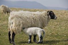 Ovelha e cordeiro de Swaledale. Imagem de Stock Royalty Free