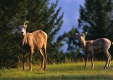 Ovelha e cordeiro dos carneiros de Bighorn Foto de Stock