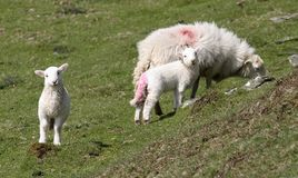 Ovelha e cordeiros Fotos de Stock