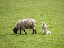 Ovelha que alimentam uma posição do cordeiro e uma que encontra-se Imagens de Stock