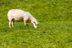 Ovelha que pasta na grama vibrante do verão do rolamento Foto de Stock