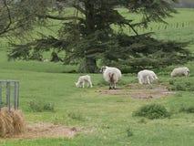 Ovelhas com os cordeiros no Parkland perto do alimentador do feno Fotografia de Stock
