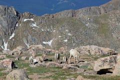 Ovelhas e cordeiros dos carneiros de Bighorn no alpino Fotografia de Stock Royalty Free