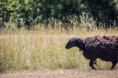Ovelhas negras em um fundo do prado imagem de stock