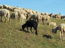 Ovelhas negras no meio do rebanho Fotografia de Stock Royalty Free