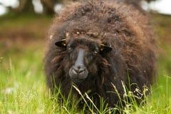 Ovelhas negras que olham na grama Imagens de Stock Royalty Free