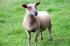 Ovelhas, uma ovelha nova em seu campo no verão foto de stock