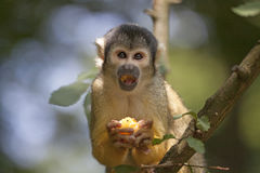 Squirrel monkey in the zoo Stock Photos