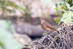 Ovenbird ή καστανοκοκκινωπό hornero Στοκ φωτογραφίες με δικαίωμα ελεύθερης χρήσης