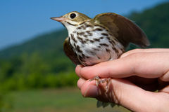 Ovenbird Royalty Free Stock Images