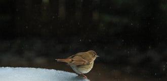Ovenbird 3 photo stock