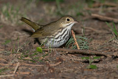 ovenbird Images stock