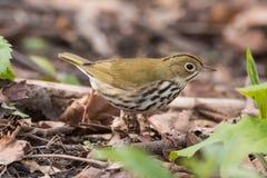 ovenbird Foto de Stock Royalty Free