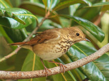 Ovenbird - branche Images stock