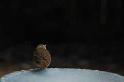 Ovenbird count the stars Stock Photography