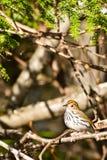 Ovenbird Royalty Free Stock Photo