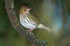 Ovenbird Royalty Free Stock Photos