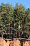 Over the cliff. The pines stand over a steep cliff Stock Photo