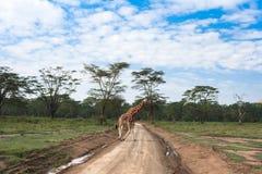 Over de weg Afrikaanse giraffen van Nakuru, Kenia Royalty-vrije Stock Fotografie