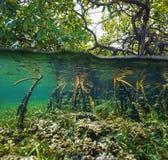 Over en onder waterspiegel in de mangrove royalty-vrije stock foto