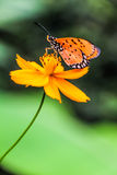 Over Flower. Orange butterfly is standing over the flower Stock Photos