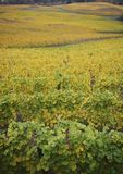 Over the Golden Vines. Fall in Oregon's Wine Country is special with it's colors of yellow and turning green Stock Images