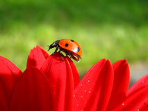 Over the Hills. The ladybug gracefully walks along the petal edges of this gerbera Stock Images