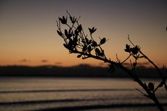 Tree Branch Silhouetted With Sunset Ocean BG royalty free stock photo