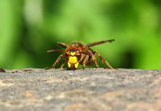Over lunch. This Hornet, strong and beautiful insect, bees are much larger. Hunts for other insects, including bees. But sometimes likes to eat sweets. Huge jaws Royalty Free Stock Photography