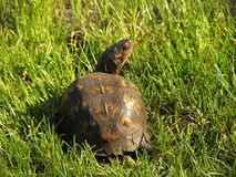 Over my shoulder. Turtle in the grass looking back at the camera stock photo