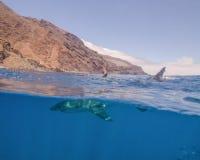 Over--onder van een Great White-Haai in Guadalupe Island, Mexico royalty-vrije stock foto