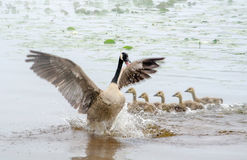 Over protective mother bird Stock Photo